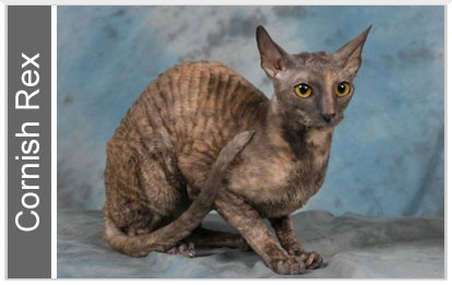 1cornishrex
